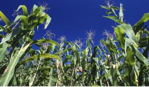 produccion de maiz en mexico deficit importaciones